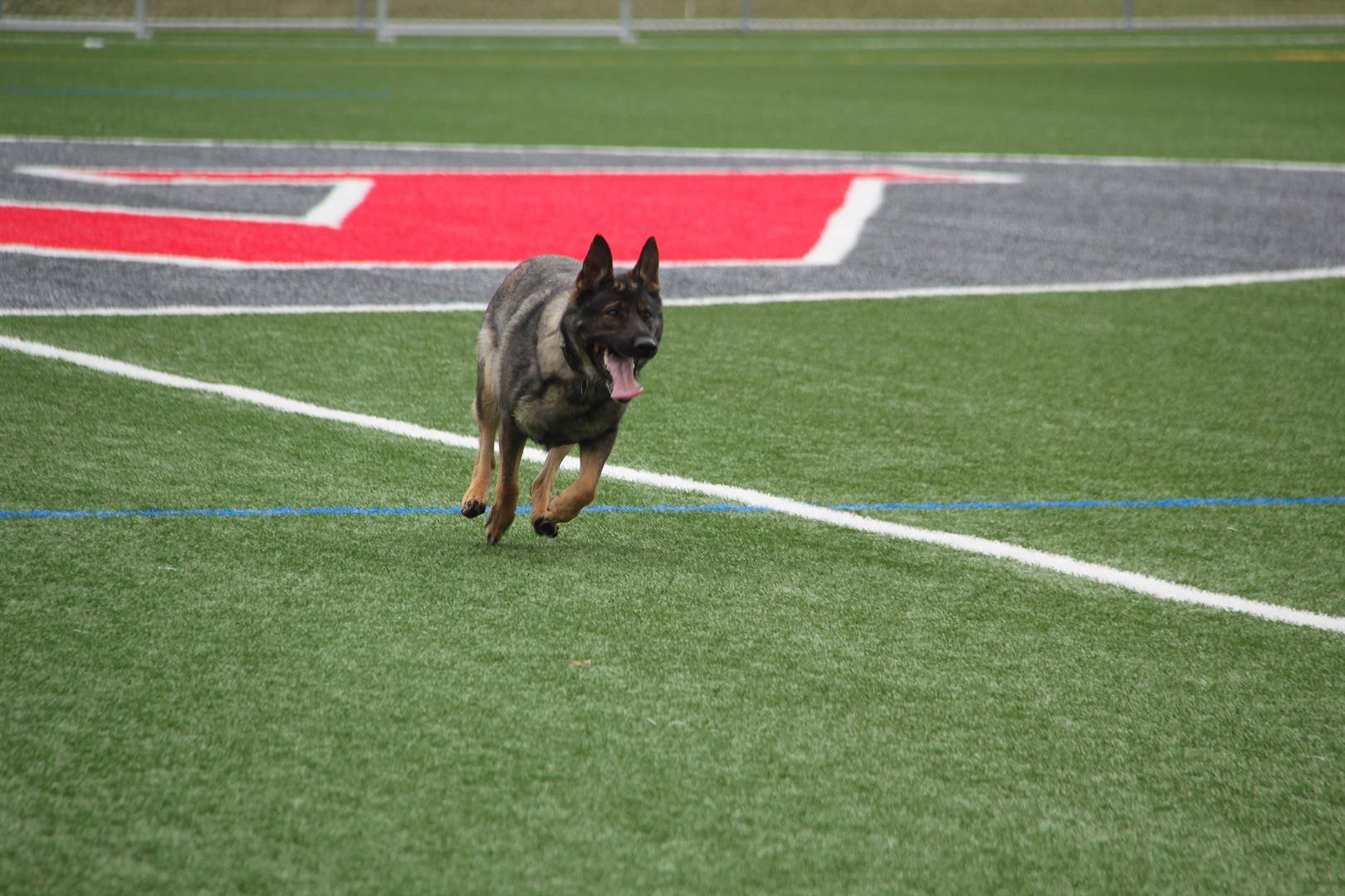 Anouk the police dog running