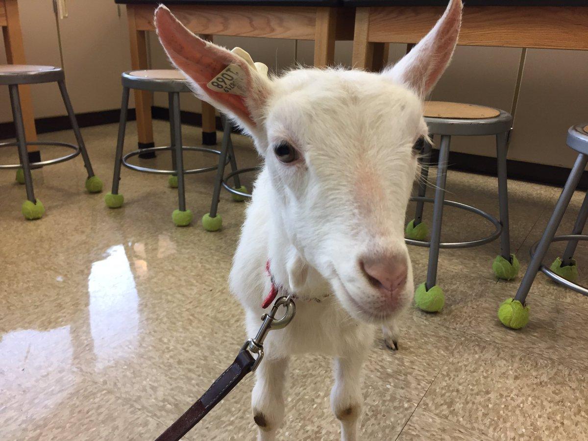 goat face close up